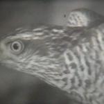 Hiwnye pticy